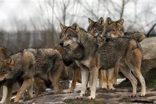 Grey Wolf Trading Post - Kachina Logo